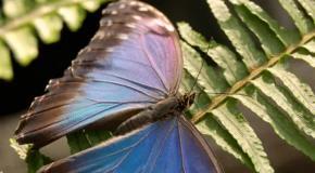 Морфо - самая яркая тропическая бабочка для подарка +38050-958-60-70-Ася.