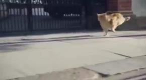 Кот, который мечтает быть собакой