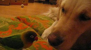 Попугайчик Кука нападає на собачку Аліску