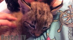Hannah the Lynx sleeping