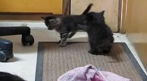 Горилла приняла котят за своих детенышей