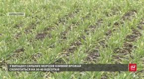 Наслідки теплої зими для врожаю: які є загрози для озимих культур