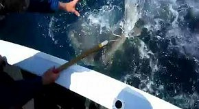 Акула атакует улов: самые пугающие видео с акулами