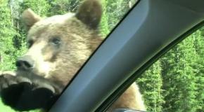 Медведь ломится в машину с людьми