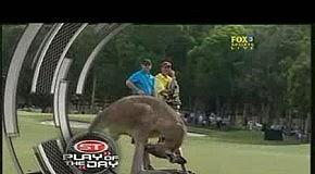 Что это кенгуру делает?
