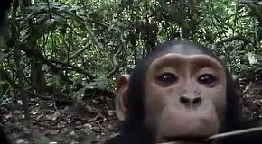 Дикие обезьяны нашли скрытую камеру