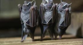 Танцующие летучие мыши