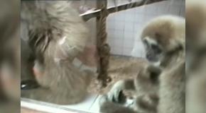 Подборка смешных обезьян