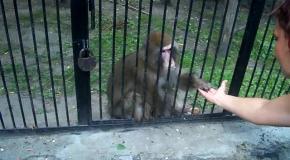 В очередной раз обезьяна доказала, кто умнее!