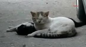 Кошка бросилась спасать сбитого машиной кота.