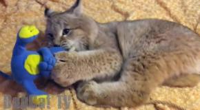 Wasted Lynx