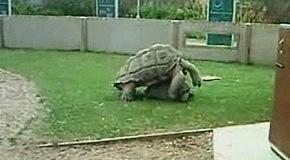 черепахи в брачный период