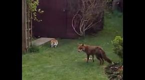 Коты прогнали голодную лису