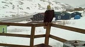 На Аляске орел и лиса дружат с котами