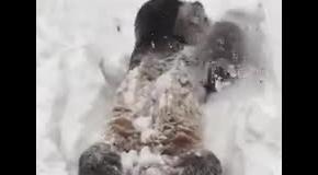 Медведь панда радуется снегу