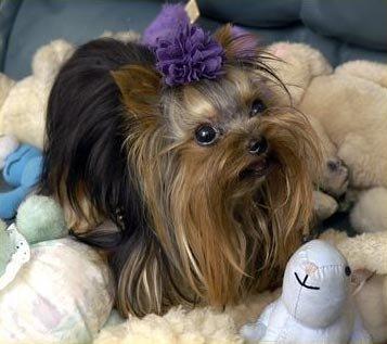 Самая маленькая собачка в мире зарегистрирована книгой Гиннесса.  Йоркширский терьер, живет в Тайланде...