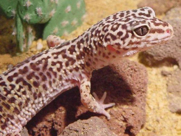Lizard - Best wallpapers on your desktop: Animal.