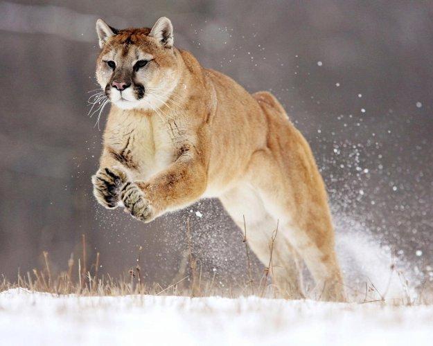 Загрузка картинки: пума, снег, прыжок / 233198 / globalwalls.ru.