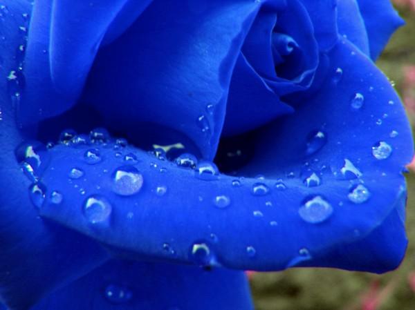 Синие розы.  Это не фотошоп.