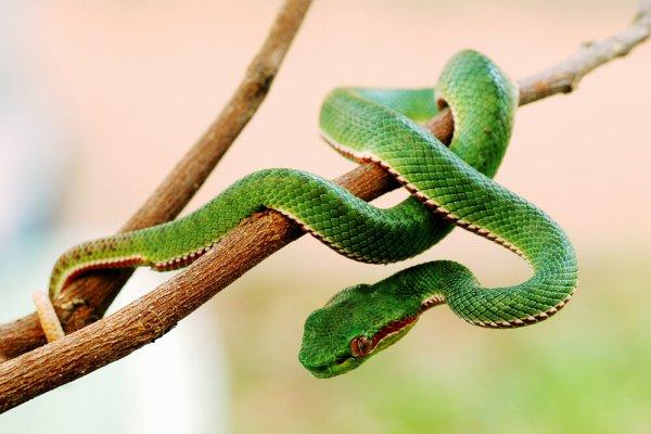 В джунглях нашли летающих змей - ТЕХНО
